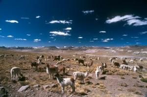 Alpacas bei Arequipa