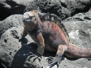 Galapagos, Leguan